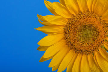 Yellow sunflowers on a bright blue background