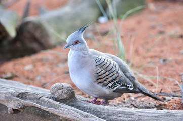Close up of Crested Pigeon