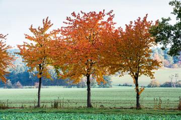 Fotoväggar - drei Bäume mit rotem Herbstlaub im Morgenlicht