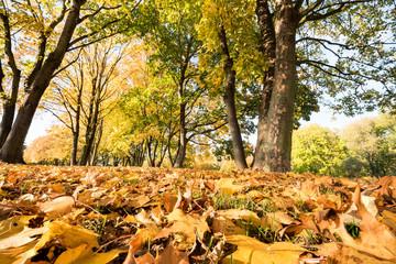 Fotoväggar - leuchtende Herbstbäume mit Laub im Vordergrund