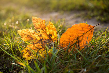 Fotoväggar - zwei Herbstblätter leuchten im Gras