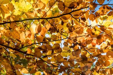Fotoväggar - ein Bild voller goldener Herbstblätter am Baum