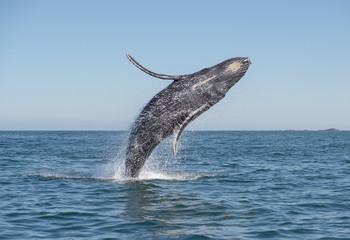 Humpback whale breaching Wall mural