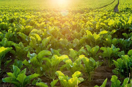 leuchtende Zuckerrüben auf einem Feld bei Sonnenuntergang
