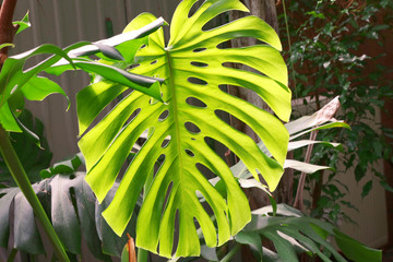 Green monstera palm leaf, close up