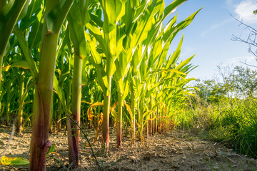Fotoväggar - leuchtende Maispflanzen in der Abendsonne