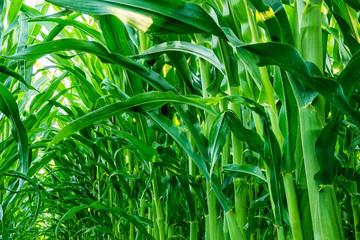 Fotoväggar - grüne Maispflanzen von unten gesehen