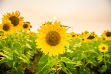 Sunflowers bloom in a field in summer
