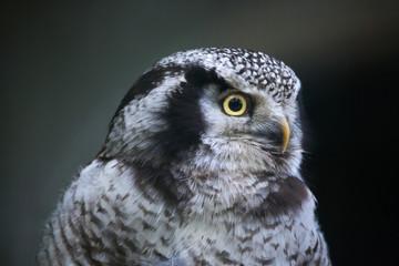 Northern hawk-owl (Surnia ulula).