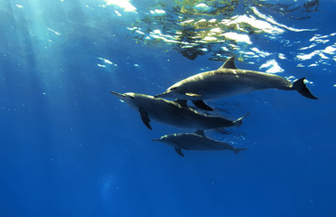 the family of red-sea whitesided-bottlenose dolphins on blue aquatic background