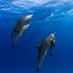 A family of dolphins with a baby swimming up to the surface