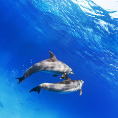 A pair of dolphins underwater in open water