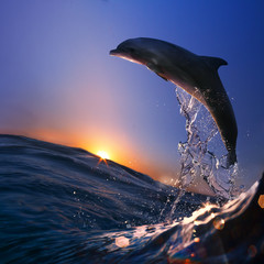 Wall Mural - beautiful dolphin jumped from sea wave at sunset time