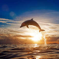 Wall Mural - beautiful dolphin leaping jumping from shining sunset sea water surface