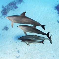 Wild Dolphins Family with a small baby underwater floating over sandy bottom of the ocean