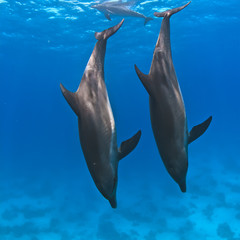 A pair of wild dolphins underwater diving down into a deep