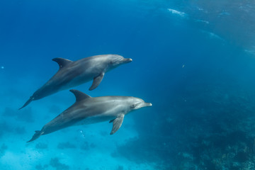 Pair of wild dolphins underwater in deep blue sea. Aquatic marine animals in nature