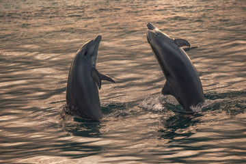 Two beautiful dolphins in golden evening water surface in half body ready to leaping from ocean. Aquatic animals playing in open sea