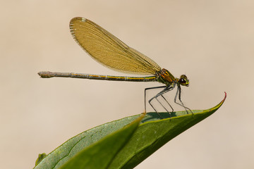 Dragonfly on a leaf, taken in Northern Italy
