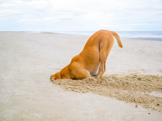 brown domestic dog hides its head in the sand hole