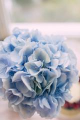 bud blue hydrangeas