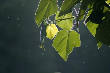 Contraluz de hojas de paulownia
