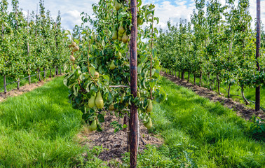 Conference pears ripening in the foreground of a modern orchard