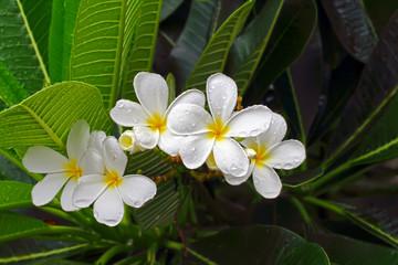 white flower in the rain.