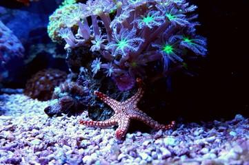 Amazing red starfish in coral reef aquarium tank