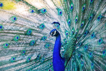 Beautiful blue peacock in a public park in Madrid