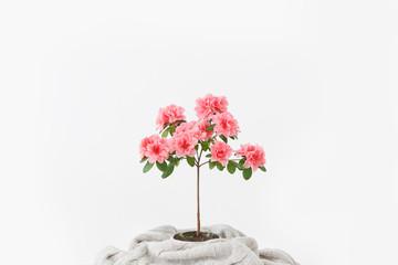 Roze azaleabloem in een betonnen pot