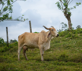 Working farm Brahma / cow in grassy meadow, cloudy blue sky and trees