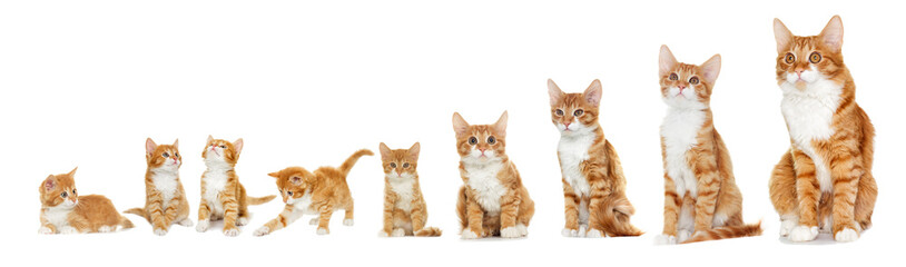 Fototapete - Kitten looking on white background