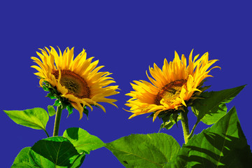 Para słoneczników na tle błękitu