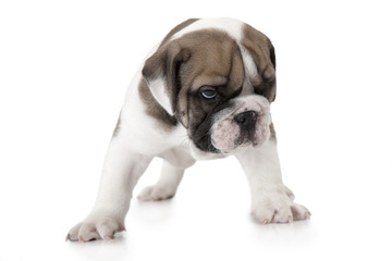English Bulldog puppy on white