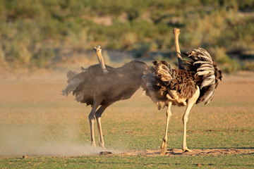 Two ostriches (Struthio camelus) displaying with open wings, Kalahari desert, South Africa .