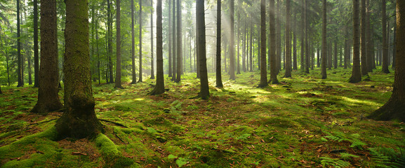 Papiers peints Forets Spruce Tree Forest, Sunbeams through Fog illuminating Moss Covered Forest Floor, Creating a Mystic Atmosphere