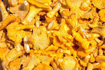 Pile Of Chanterelle Mushrooms For Cooking. Yellow Chanterelles (Cantharellus Cibarius) Background