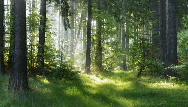 Natural Forest of Spruce Trees, Sunbeams through Fog create mystic Atmosphere