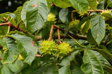Kastanienbaum mit Rosskastanien in stachliger Hülle