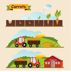 Carrots, the growth cycle of plants. Collection and delivery of