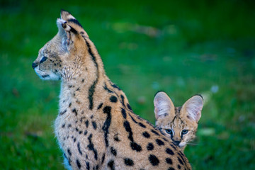 Serval with kitten looking from behind it's mothers back