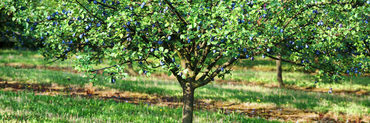 plum tree with ripe blue berries