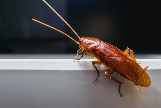Close up Cockroach on white a bowl