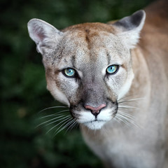 Puma, wild cat eyes