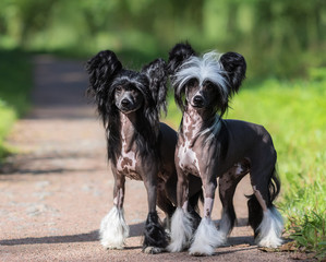 Fototapete - Chinese Crested Dog Breed. Male and Female dog.