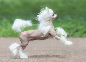 Wall Mural - Chinese Crested Dog Breed. Male dog.