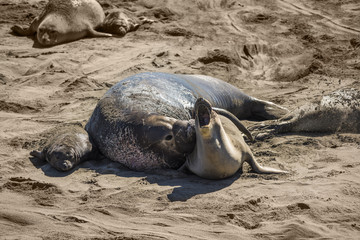 Elephant seal mating and raping mother seal next to baby on California coast