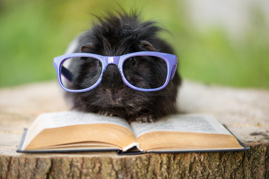 fluffy black guinea pig in glasses with a book
