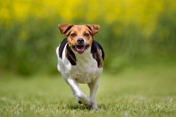 Danish Swedish farm dog outdoors in nature